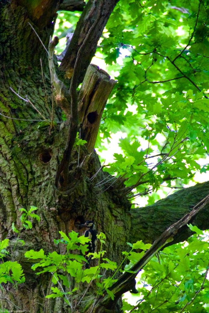 parentwoodpecke