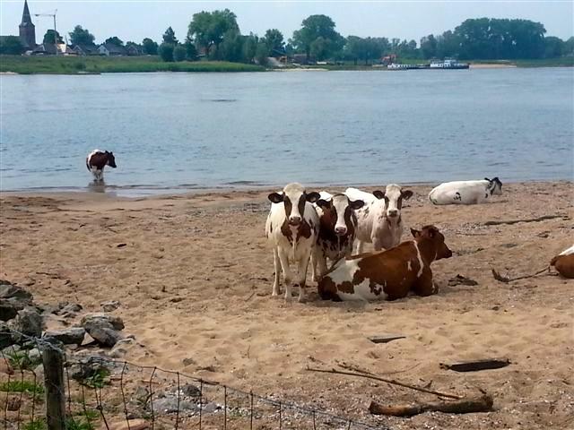 Cow Beach