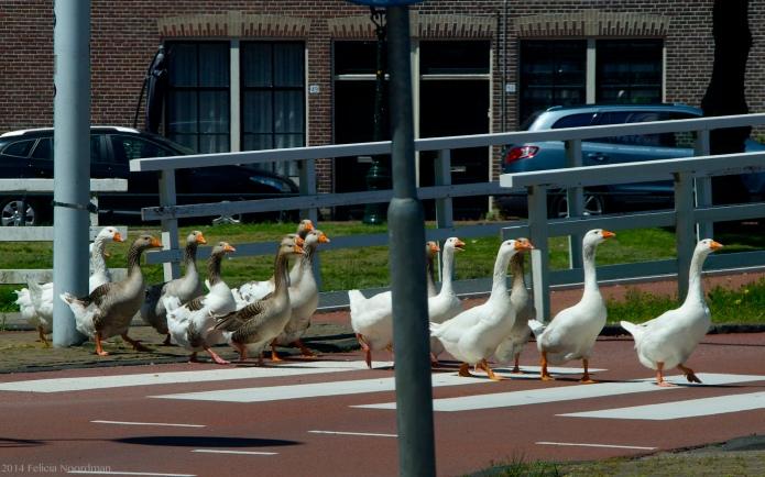 Goose crossing I