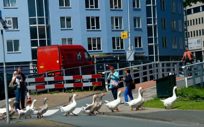 Goose Crossing II