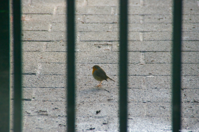 Robin behind bars