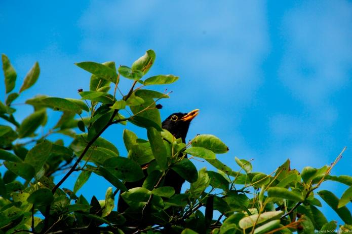 Blackbird bit of cherry