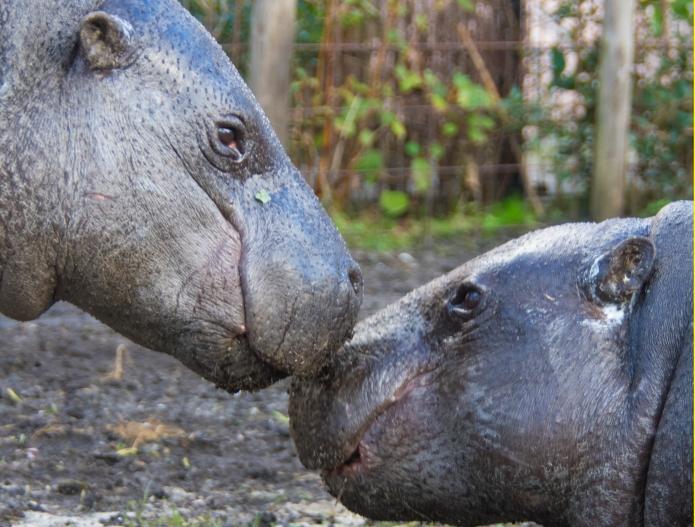 Pygmy Hippo Kissie